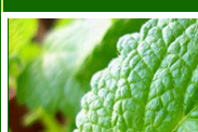 peppermint oil manufacturer, peppermint oil exporter